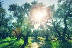 Olives garden Stock Photo