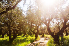 Olives garden Royalty Free Stock Images