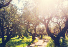 Olives garden Royalty Free Stock Image