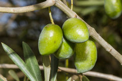 Olives. Greeen olives on a branch Royalty Free Stock Image