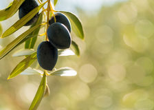 Olives with green bokeh background Royalty Free Stock Images