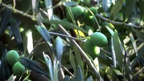 Olives stock footage