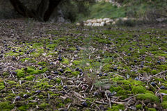 Olives on the ground Royalty Free Stock Image