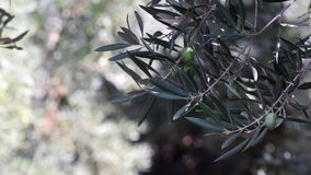 Olives grove stock video