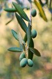 Olives growing Stock Images