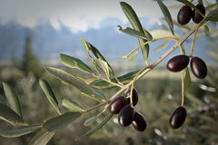 Olives growing on tree Stock Images