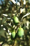 Olives growing on tree Royalty Free Stock Photo