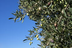 Olives growing on a tree Royalty Free Stock Photo