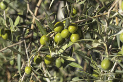 Olives growing in the tree Stock Images