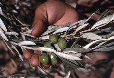 Olives in hand Stock Photo