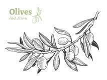 Olives, hand drawn vector illustration set stock image