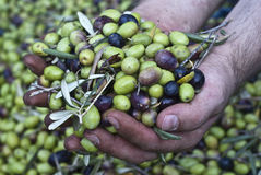 Olives in hands Royalty Free Stock Images