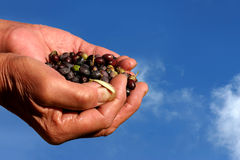 Olives in hands. With background the blue sky Stock Images