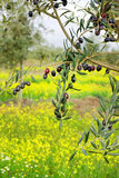 Olives hanging in branch. Stock Photography