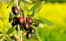 Olives hanging in branch . Stock Photos