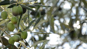 Olives hanging at brancH in olive tree at sunset