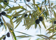 Olives hanging on a trees in southen spain Stock Image