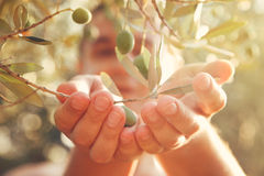 Olives harvest Royalty Free Stock Photos