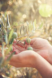 Olives harvest. Farmer is harvesting and picking olives on olive farm. Gardener in Olive garden harvest Stock Photography