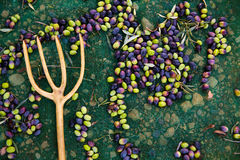 Olives harvest with net and wooden fork Royalty Free Stock Images