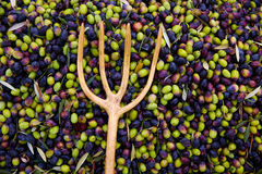 Olives harvest with net and wooden fork Stock Image