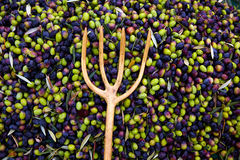 Olives harvest with net and wooden fork Royalty Free Stock Image