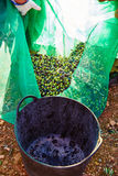 Olives harvest picking in farmer basket Stock Images