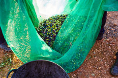 Olives harvest picking in farmer basket Royalty Free Stock Photos