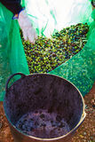 Olives harvest picking in farmer basket Royalty Free Stock Photo