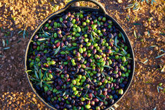 Olives harvest picking in farmer basket Royalty Free Stock Images