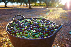 Olives harvest picking in farmer basket Stock Photos