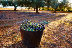 Olives harvest picking in farmer basket Royalty Free Stock Photography