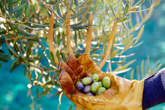 Olives harvest picking hands at Mediterranean Royalty Free Stock Photography