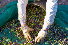 Olives harvest picking hands at Mediterranean Stock Images
