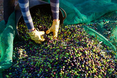 Olives harvest picking hands at Mediterranean Stock Image