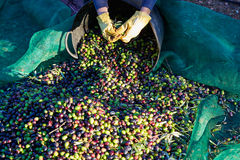 Olives harvest picking hands at Mediterranean Royalty Free Stock Image