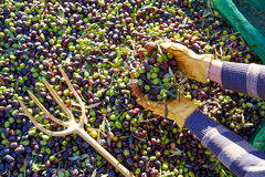 Olives harvest picking hands at Mediterranean Royalty Free Stock Images