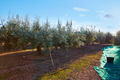 Olives harvest picking with net at Mediterranean Royalty Free Stock Photography