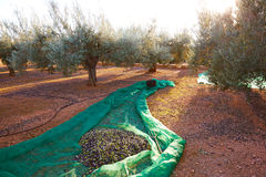 Olives harvest picking with net at Mediterranean Stock Images
