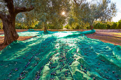 Olives harvest picking with net at Mediterranean Royalty Free Stock Image