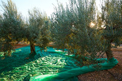 Olives harvest picking with net at Mediterranean Stock Image