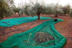 Olives harvest picking with net at Mediterranean Royalty Free Stock Photos