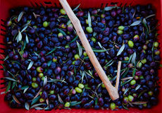 Olives harvest and picking sticks at Mediterranean Stock Photo