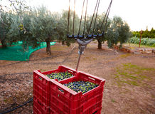 Olives harvest and picking vibration fork tool Royalty Free Stock Photo