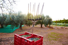 Olives harvest and picking vibration fork tool Royalty Free Stock Images