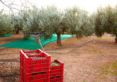 Olives harvest and picking vibration fork tool Stock Photo