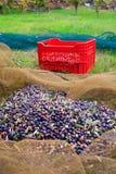 Olives harvest Royalty Free Stock Photo