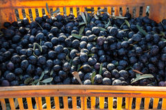 Olives. Harvested olives in a crate royalty free stock photography