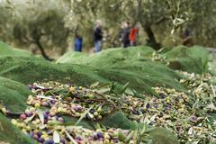 Olives harvested over a net during harvesting season to make olive oil, Priorat, Tarragona, Catalonia, Spain.  stock image