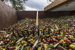 Olives harvested over a net during harvesting season to make olive oil, Priorat, Tarragona, Catalonia, Spain-7.CR2. Olives harvested over a net during harvesting royalty free stock images